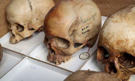 Le crâne de Lusinga, parmi bien d'autres, au Musée des sciences naturelles à Bruxelles. Photo : Ronald Dersin.