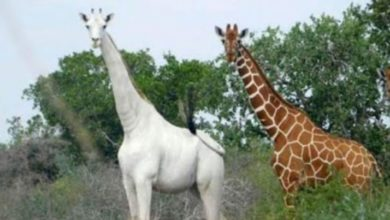 Photo of Garissa : L'unique girafe blanche femelle au monde tuée